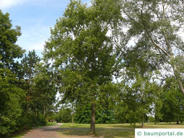 Balsam-Pappel (Populus balsamifera) Baum