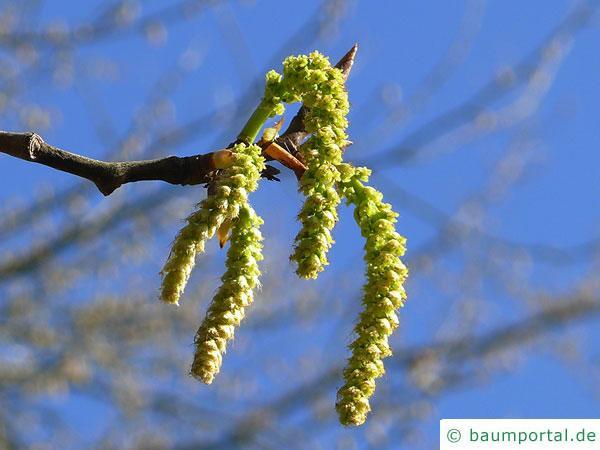 Balsam-Pappel (Populus balsamifera) Blüte
