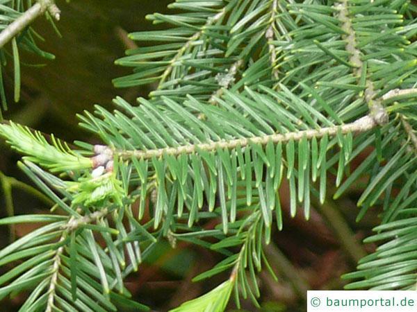 Balsam-Tanne (Kieferngewächse (Pinaceae) Nadeln