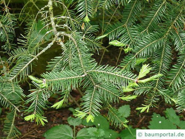 Balsam-Tanne (Kieferngewächse (Pinaceae) Zweig im Austrieb