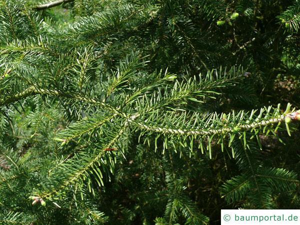 Balsam-Tanne (Kieferngewächse (Pinaceae) Zweig