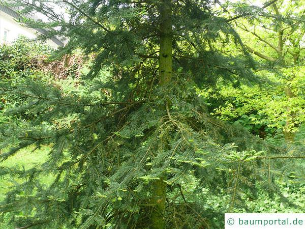 Balsam-Tanne (Kieferngewächse (Pinaceae) Baum im Sommer