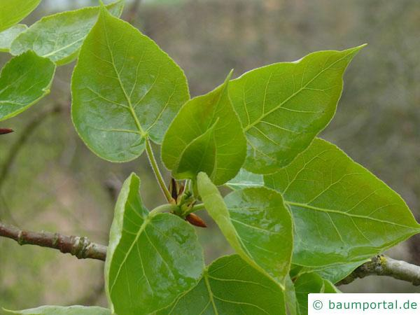 Balsam-Pappel (Populus balsamifera) Austrieb