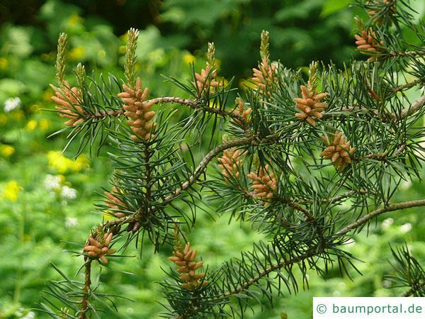 Banks-Kiefer (Pinus kanksiana) Blütenstände