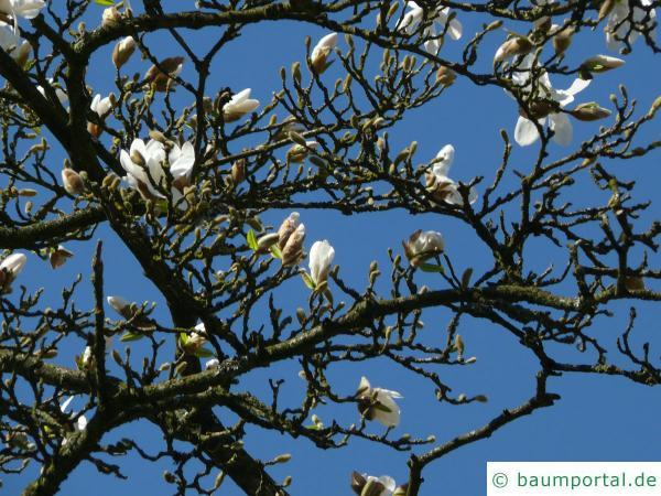 Baum-Magnolie (Magnolia kobus) Blütenaustrieb