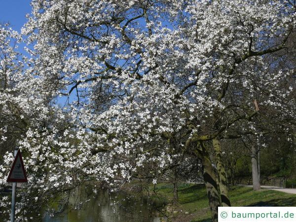 Baum-Magnolie (Magnolia kobus) Baum