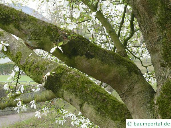 Baum-Magnolie (Magnolia kobus) Stamm / Rinde / Borke