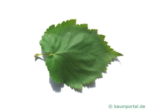 Baumhasel (Corylus colurna) Blatt