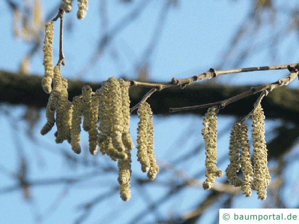 Baumhasel (Corylus colurna) männliche Kätzchen