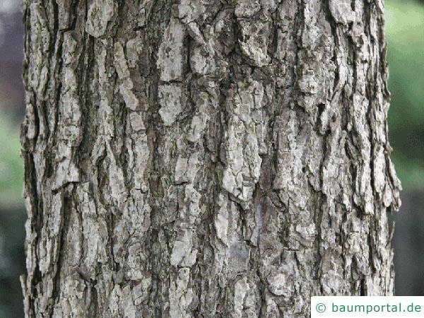 Baumhasel (Corylus colurna) Stamm / Rinde / Borke