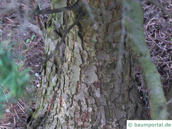Berg-Hemlock-Tanne (Tsuga mertensiana) Stamm / Rinde / Borke