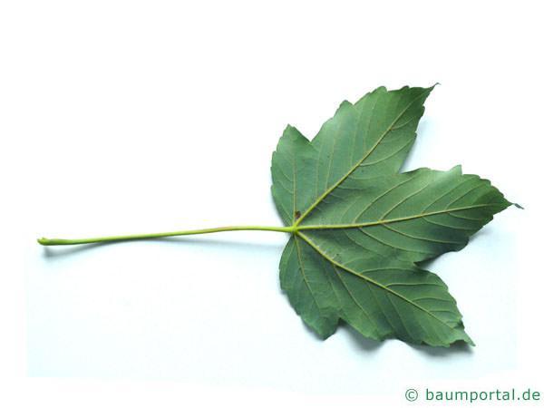 Berg-Ahorn (Acer pseudoplatanus) Blattrückseite