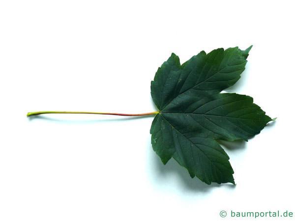 Berg-Ahorn (Acer pseudoplatanus) Blatt