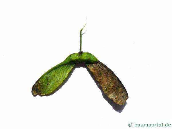 Berg-Ahorn (Acer pseudoplatanus) Einzelfrucht