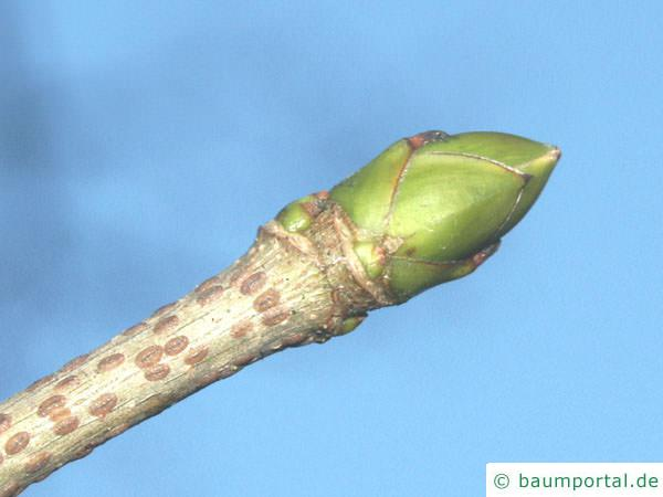 Berg-Ahorn (Acer pseudoplatanus) Endknospe