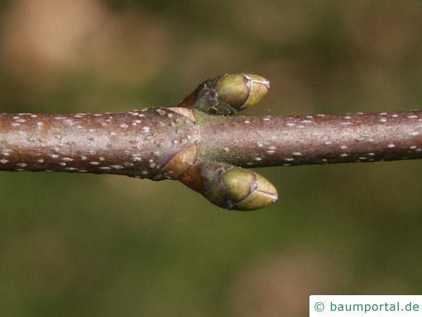 Berg-Ahorn (Acer pseudoplatanus) Seitenknospen