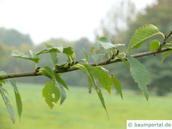 Berg-Ulme (Ulmus glabra) Zweig mit Blätter