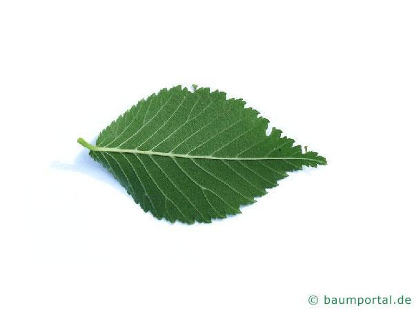 Berg-Ulme (Ulmus glabra) Blattunterseite