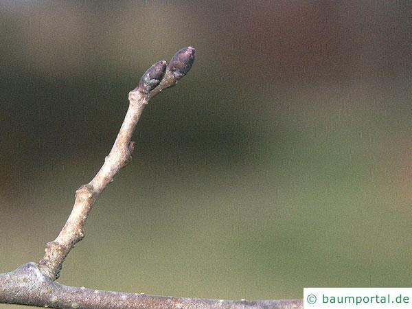 Berg-Ulme (Ulmus glabra) Knospen