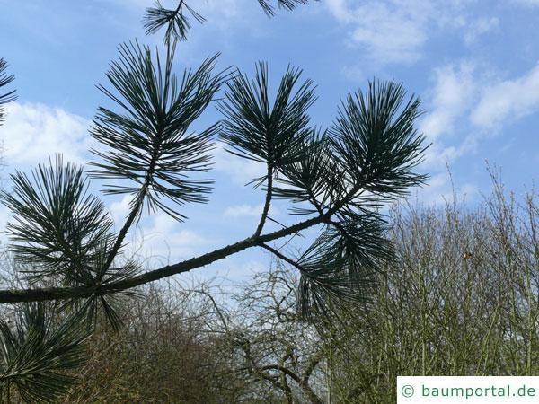 biegsame Kiefer (Pinus flexilis) Ast