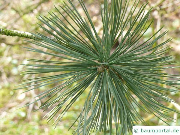 biegsame Kiefer (Pinus flexilis) Nadeln am Zweigende