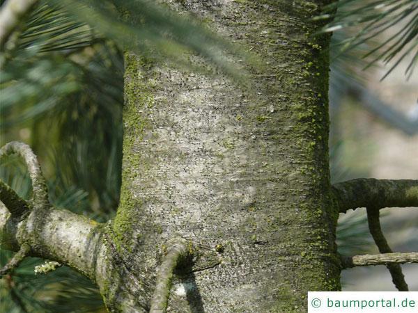 biegsame Kiefer (Pinus flexilis) Stamm / Rinde / Borke