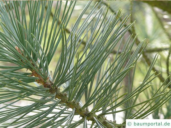 biegsame Kiefer (Pinus flexilis) Nadelanordnung