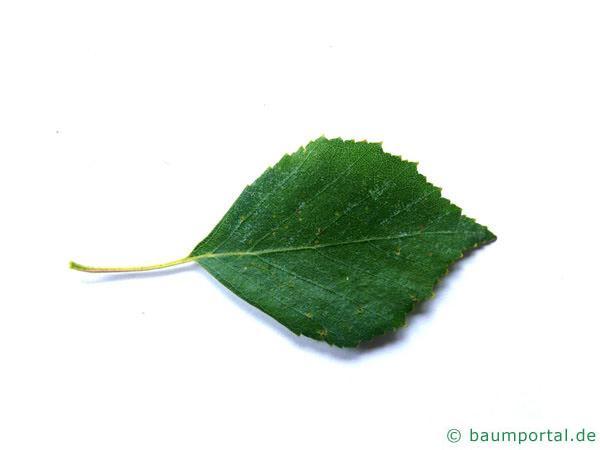 Birke (Betula pendula) Blatt