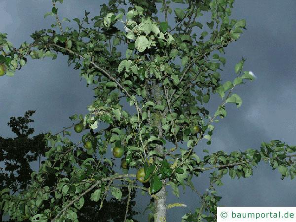 Birne (Pyrus communis) Birnenbaum