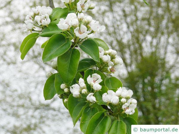 Birne (Pyrus communis) Blüte