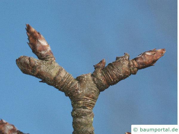 Birne (Pyrus communis) Endknospe der Birne