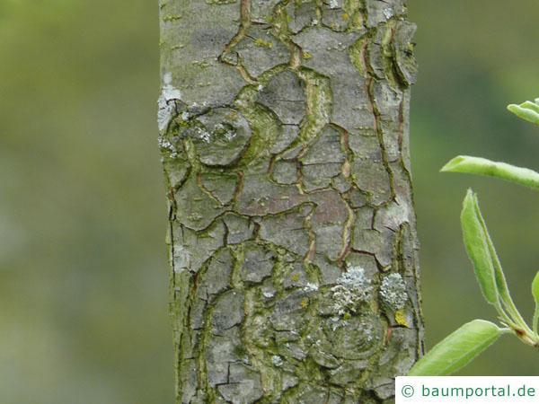 Birne (Pyrus communis) Stamm / Rinde / Borke