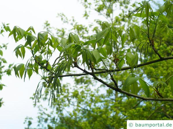 Bitternuss (Carya cordiformis) Blüten