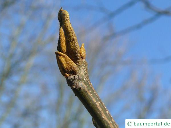 Bitternuss (Carya cordiformis) braune Endknospe