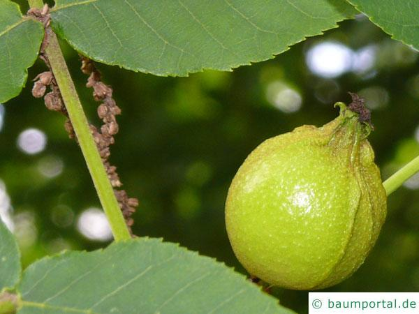 Bitternuss (Carya cordiformis) Frucht / Nuss