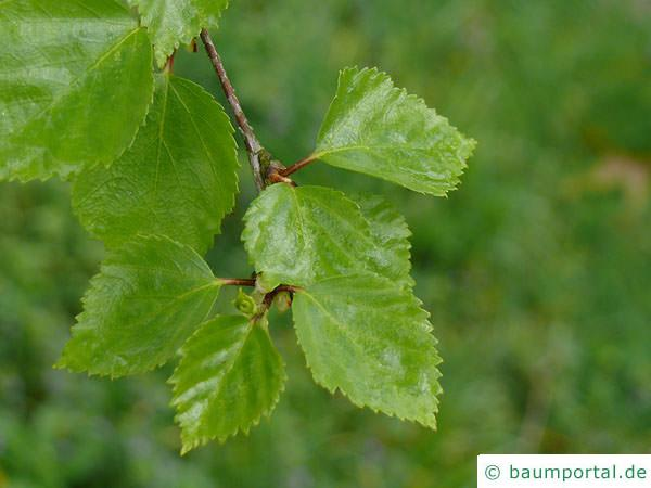 Blau-Birke (Betula caerulea) Austrieb