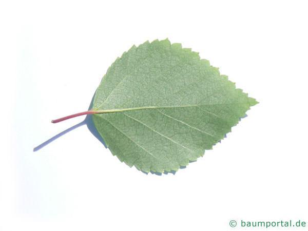 Blau-Birke (Betula caerulea) Blattrückseite