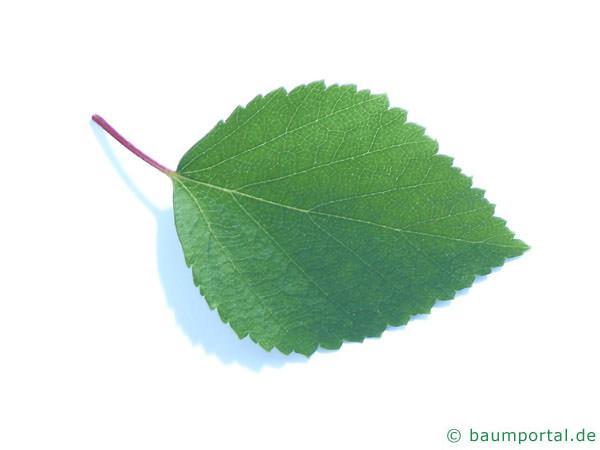 Blau-Birke (Betula caerulea) Blatt