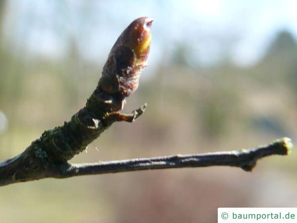 Blau-Birke (Betula caerulea) Endknospe