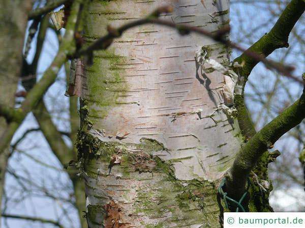 Blau-Birke (Betula caerulea) Stamm / Rinde / Borke