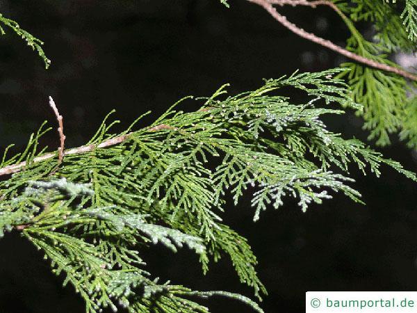 Blaue Scheinzypresse (Chamaecyparis lawsoniana 'Glauca') Ast