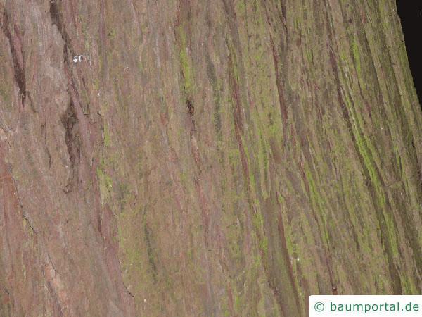 Blaue Scheinzypresse (Chamaecyparis lawsoniana 'Glauca') Stamm