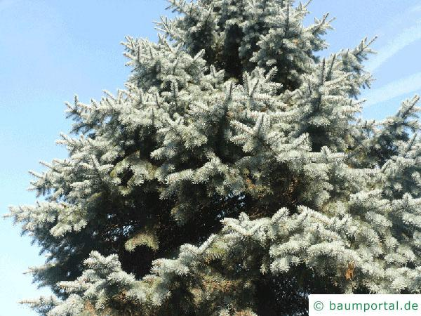 Blaufichte (Picea pungens 'Glauca') Baum