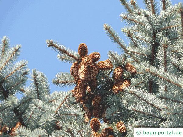 Blaufichte (Picea pungens 'Glauca') Zapfen