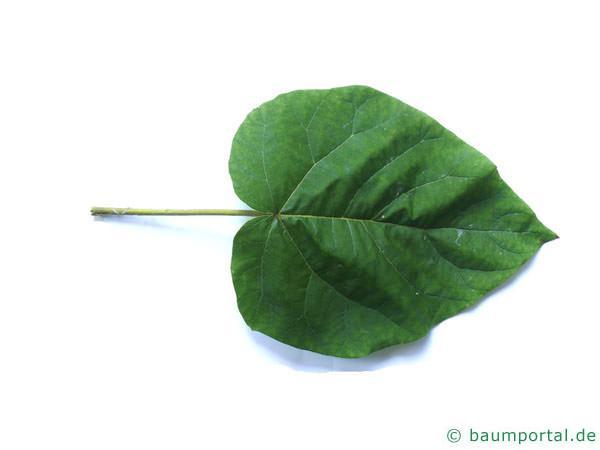Blauglockenbaum (Paulownia tomentosa) Blatt