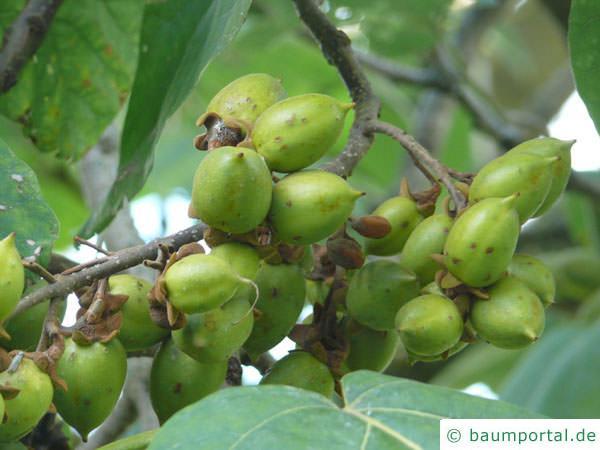 Blauglockenbaum (Paulownia tomentosa) Früchte