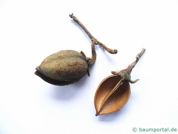 Blauglockenbaum (Paulownia tomentosa) Frucht