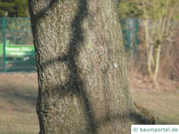 Blauglockenbaum (Paulownia tomentosa) Stamm / Rinde /Borke