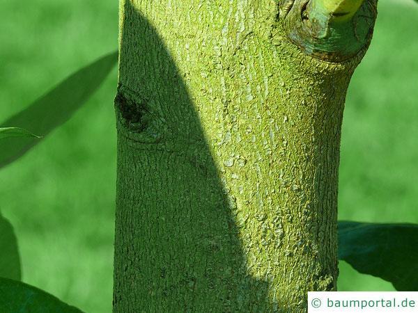Blaugummibaum (Eucalyptus globulus) Stamm / Rinde / Borke