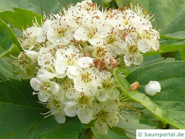 Blut-Weißdorn (Crataegus sanguinea) Blüte